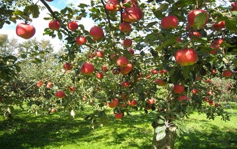 Val Di Non - raccolta delle mele